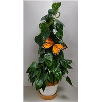 6_in_Philodendron_Totem_Pole_with_Monarch_-_39.99