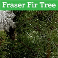 fraser-fir-tree-by-flowerama