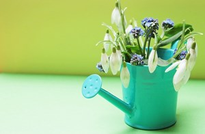 White_Galanthus_Winter_Flowers_in_a_Blue_Watering_Pot